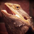 Healthy Bearded Dragons